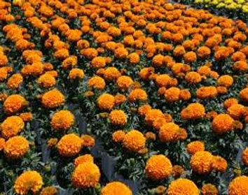 Marigold-Antigua Orange