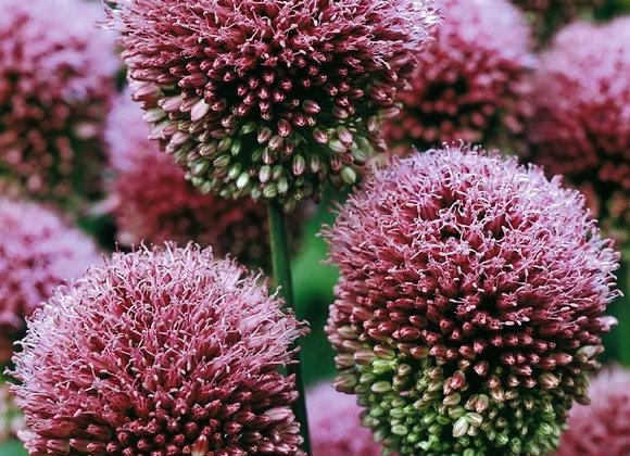 Allium-Drumstick Allium (50 bulbs)