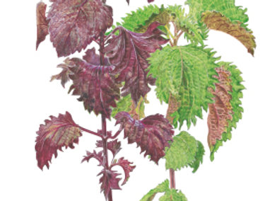 Shiso/Perilla Green & Red Seeds