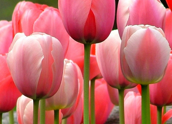 Tulip-Pink Impression (25 bulbs)