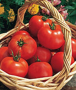 "When gardeners talk about the ""first"" tomatoes, Early Girl is always there. This may be the most all-round popular hybrid to satisfy that itch for the first fresh tomato of the season. Use them for slicing on a place, into a salad, or on a sandwich. This a proven all-round early hybrid. Use it to jump start your harvest. Early Girl bears lots of fruit for early harvest, but because the vines are indeterminate, they continue producing through summer. In our Alabama test garden, where conditions are ideal and the growing season is long, we harvest an average of 300 tomatoes from each Early Girl plant! Many gardeners plant it again late in the summer so that it will produce a huge fresh crop of fall tomatoes quickly before frost."