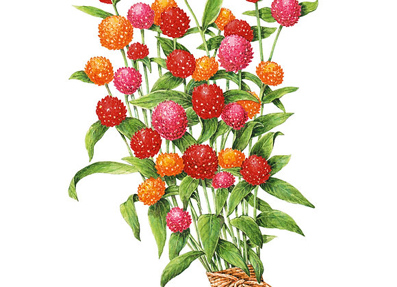 Gomphrena QIS Fiery Sunrise Blend Seeds