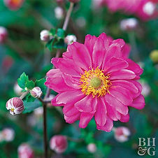 Also known as windflower, anemones are grown for their beautiful, nodding blooms on long, wiry stems. The foliage looks similar between varieties, but size and bloom times vary between spring, summer, or fall. Fall-blooming Japanese anemones are particularly noteworthy because they fill the midsummer-to-fall gap in gardens.