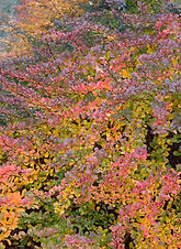 Gracefully arching branches display a profusion of bright yellow flowers in spring and brilliant bronze fall color. Wonderful fast-growing evergreen hedge for mass planting. Good barrier plant.