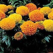 Marigold-Antigua Mix