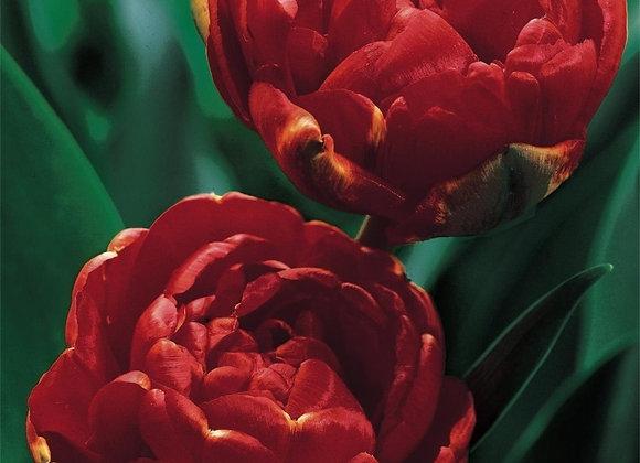 Tulip-Miranda (25 bulbs)
