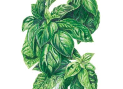 Basil Italian Genovese Org Seeds
