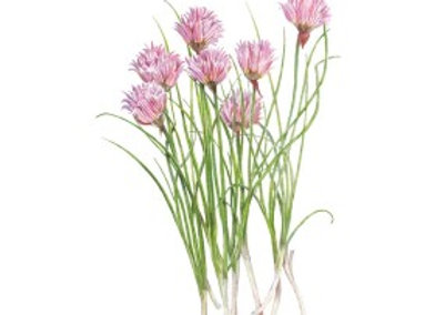 Chives Common Seeds