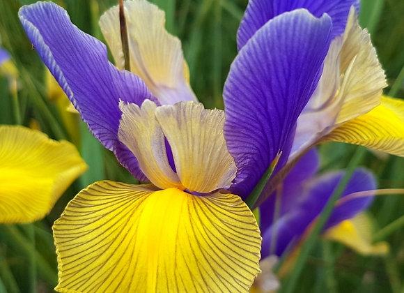 Iris-Mystic Beauty (10 bulbs)