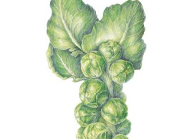 Brussels Sprouts Long Island Imp Seeds