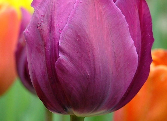 Tulip-Negrita (25 bulbs)