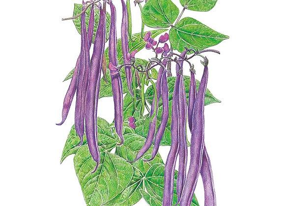 Bean Bush Royal Burgundy Seeds