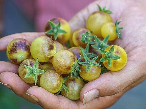 Blue Cream Berries Cherry Tomato