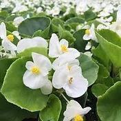 Begonia-Olympia White