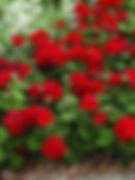 Geranium-Geranium (various colors)