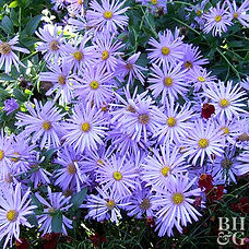 Easy-to-grow asters come in a variety of shapes and sizes to suit gardens of all dimensions, shapes, and styles especially cutting gardens and sunny or lightly shaded borders. Although a few species bloom in early spring, most put on a spectacular flower display, supported by evergreen foliage, from late summer well into fall when other summer blooms may be fading.