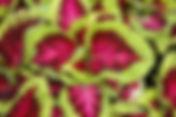 Coleus-Kong, Rose