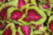 Viola-Tiger Eye.jpg