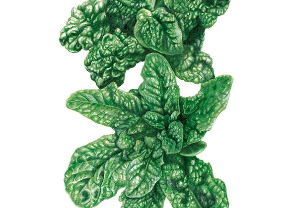 Spinach Bloomsdale Org Seeds