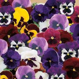 Pansy-Majestic Mix