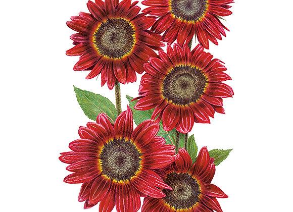 Sunflower Moulin Rouge hybrid Seeds