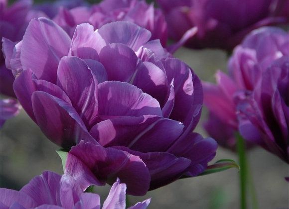 Tulip-Blue Spectacle (25 bulbs)