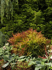 Intensely red new foliage cools to a lush green in summer. Fiery red highlights reappear in fall and winter. Occasionally produces small, white flowers in spring. The perfect shrub to use for high profile accents or nooks in architecture. Plant en masse for a dramatic, colorful landscape effect. Evergreen.