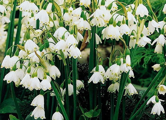 Summer Snowflake (10 bulbs)