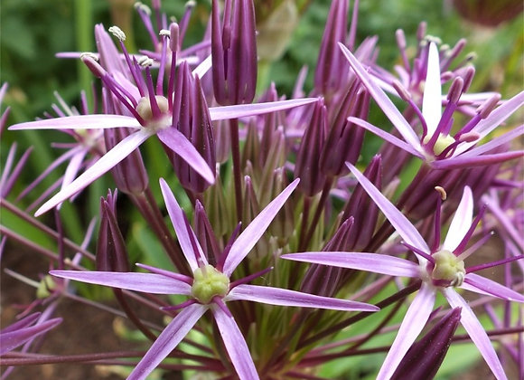 Allium-Star of Persia (50 bulbs)