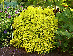 A very compact dwarf shrub with bright, sunshine-yellow foliage. This low maintenance, drought and deer tolerant shrub matures at 1 to 2 feet tall and wide. This variety is perfect for mixed borders and beds.