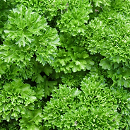Curled parsley has beautiful, dark green leaves well known as the classic garnish for deviled eggs and an ingredient in tabbouleh (parsley salad) or white clam sauce for pasta. However, it has many more uses. Hardy through zones 7 and warmer, it is a great winter garden plant and looks beautiful in containers with pansies or other winter color. The nutritious leaves are high in iron and in vitamins A, C, and E. The high chlorophyll content makes it a natural breath sweetener, too. Frost tolerant. Great in containers.