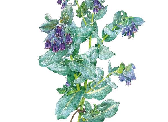 Honeywort Purple Tear Seeds