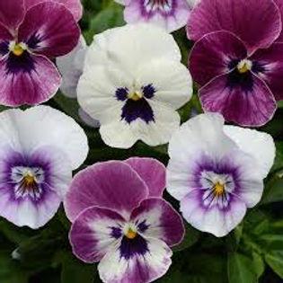 Viola-Sorbet Y. T. & T.