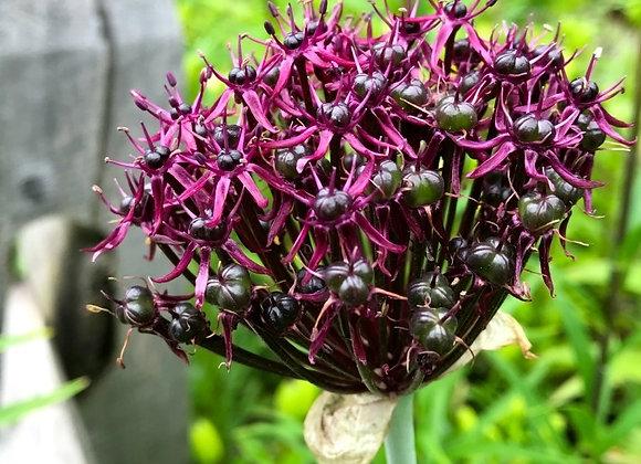 Allium Atropurpureum (50 bulbs)