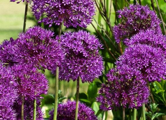 Allium-Purple Sensation (50 bulbs)