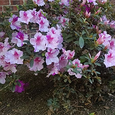 Encore azaleas are a series of hybrids developed to be true multi-season bloomers-blooming in Spring, Summer, and Fall.