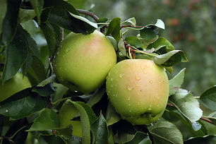 Attractive mid-sized tree with showy, pale pink flowers in spring followed by tasty, bright golden fruit. Enjoy crisp, juicy apples fresh off the tree or for cooking. Golden Delicious is a good pollenizer for other apple varieties. Harvest in late September to early October. Recommended chill: 600-700 hours. Deciduous.