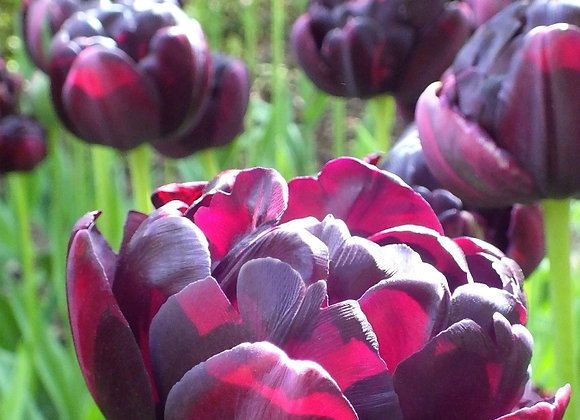 Tulip-Black Hero (25 bulbs)