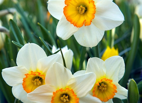 Narcissus-Flower Record (10 bulbs)