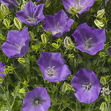 This tidy, mounding perennial explodes with star-shaped, cupped, violet flowers that bloom profusely throughout summer. Wonderful for use in a container, mixed bed, or rock garden. Lovely in cut flower arrangements. An herbaceous perennial
