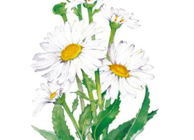 Shasta Daisy Alaska Seeds