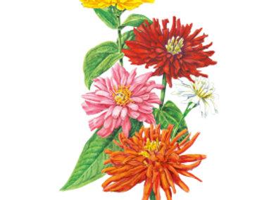 Zinnia Cactus Flower Blend Seeds