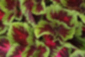 Coleus-Kong, Red