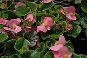 Begonia-Olympia Pink