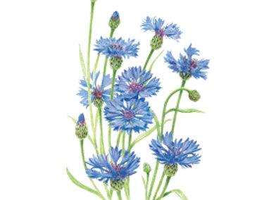 Bachelor Button Blue Boy Seeds