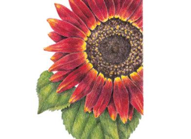 Sunflower Evening Sun Org Seeds