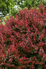 A wonderful low hedge, barrier planting, or single shrub accent, with compact branches and deep crimson color to the dense foliage. Enhanced with bright red berries in fall and winter that attract winter songbirds to the garden. Deciduous.