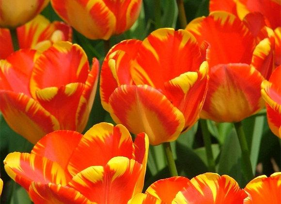 Tulip-Banja Luka (25 bulbs)