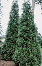 Green Giant Arborvitae Thuja standishii x plicata 'Green Giant' The green giant arborvitae is a large, vigorous, fast-growing evergreen shooting up by as much as 3 feet per year until maturity. Its natural pyramidal to conical form boasts dense, rich green foliage that darkens or bronzes slightly in the winter.