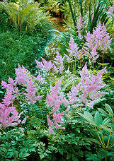 Astible is a knockout plant, thanks to its ornamental, fern-like bronze-and-green foliage and its feathery plumed blossoms that look good both in season and dried for winter interest. Just make sure to keep astilbe moist, or its delicate foliage will scorch in the sun.